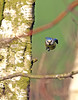 The Eagle is landing (Mr Grimesdale) Tags: tit bluetit gardenbirds britishbirds stevewallace smalltit mrgrimesdale