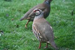 Red-Legged Partridges (brinrock) Tags: partridges redlegged
