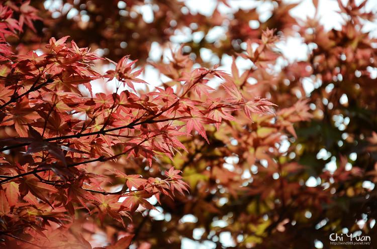 竹子湖紅楓08.jpg