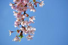 Kokura Cherry Blossoms (jpellgen) Tags: pink japan cherry japanese march spring blossoms sakura nippon fukuoka nihon kyushu 2012 kitakyushu prunus  kokura