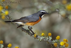 White throated robin -  male  () Tags: white bird robin birds bin sultan qatar  throated    wachers       lesnafi