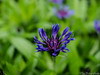 Purple flower 05.05.2012