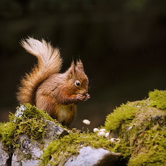 seeing red (Black Cat Photos) Tags: uk red england cute nature animal blackcat mammal photography photo squirrel europe wildlife yorkshire adorable reserve m endangered esquilo dales ardilla protected yorkshiredales redsquirrel simplyred sciurusvulgaris seeingred sciuridae blackcatphotos