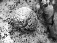 Snail Shell (shaire productions) Tags: blackandwhite bw texture concrete photography photo blackwhite image critter cement shell snail ground photograph grayscale textured imagery snailshell