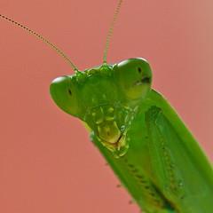 Here's looking at you (Deb Jones1) Tags: macro green canon bug insect insects bugs flickawards debjones1 mantispreyingmantis