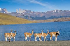 Torres del Paine National Park (Rita Willaert) Tags: patagonia nationalpark chili glacier torresdelpaine puertonatales guanacos natales parquenacional patagoni gletsjers lagunaamarga chileanpatagonia cordilleradelpaine magallanesylaantrticachile magallanesylaantrticachilena repblicadechile