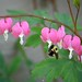 Bee and Bleeding Heart
