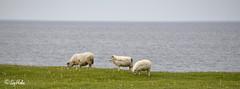 Langanes North East Iceland (Sig Holm) Tags: island iceland islandia sheep july kind sheeps sland kindur jl islande icelandic langanes islanda 2011 landslag ijsland landslagsmyndir brimnes islanti  icelandiclandscape    slenskt slensktlandslag norausturland   heiarhfn      noruringeyjarssla