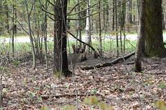 Parc d'Oka (Qubec, Canada) (Sylvain Bournival) Tags: canada nature animal woods wildlife can terrier qubec fox bois vulpesvulpes renardeau sepaq porte babyfox renardroux parcdoka renardcommun