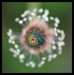 The Big Bang Theory (Jashir) Tags: espaa macro canon bug insect spain gijn beetle asturias explore 7d escarabajo bicho insecto asturies tamronspaf90mmf28dimacro canoneos7d