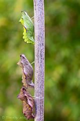 Puipevine Swallowtail-7683 (Timtastic!) Tags: butterfly aristolochia pupa pipevineswallowtail diapause battus hirsuta philenor chyrsalis