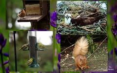 Wildlife Collage. (eric robb niven) Tags: collage bluebells squirrel birdfeeder osprey chaffinch kx greenfinches ericrobbnivenpentax