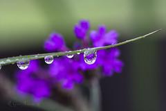 Wildflower in Drop (Glenn Anderson.) Tags: wild flower water grass drops purple dew refraction blade a850 naturallens