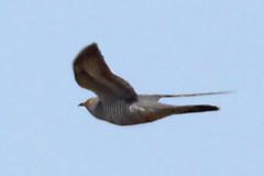 Cuckoo (JayClark) Tags: birds thelodge