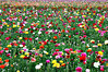 Fields of Color (TheJudge310) Tags: california flowers usa green field garden march rainbow nikond70s multicolored carlsbad 2012