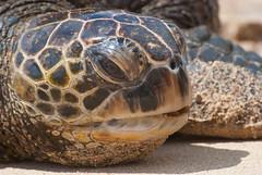 Sea Turtle (Dr_Drill) Tags: ocean sea beach hawaii nikon waves oahu turtle north shore hi nikkor d80 70300vr