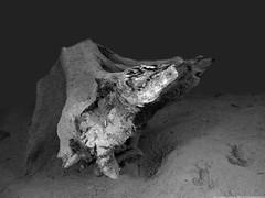 tree roots underwater (scubaluna) Tags: wood nature monochrome underwater object driftwood scubadiving schwarzweiss vierwaldstttersee freshwater landsacpe tauchen unterwasser weitwinkel schwemmholz olympusesystem scubalunaphotography ringexcellence