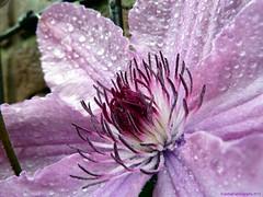 """Waldrebe ~ Clematis """"Hagley Hybrid"""" (EnDie1) Tags: flowers plants blossoms blumen blüten flickrduel endie1"""
