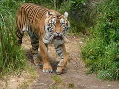 sky says hi :)  - sumatran tiger @  san francisco zoo (leo811_sf (animal friends, sfzoo plus!)) Tags: cats nature animal feline wildlife sfzoo sanfranciscozoo carnivore sumtrantiger