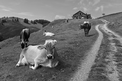 Could you hold this for a sec? (Toni_V) Tags: animal schweiz switzerland cow suisse hiking rangefinder 2012 appenzell m9 scheidegg 35lux toniv 120602 leicam9 l1007548 kronbergappenzell earartist