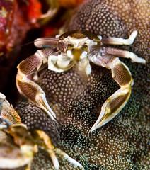 (gerb) Tags: macro topv111 nice topv555 topv333 underwater crab scuba anemone wildanimal crustacean tvp similanislands aquatica 105mmf28micro d7000