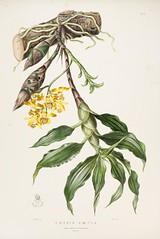 n106_w1150 (BioDivLibrary) Tags: guatemala mexico orchidaceae plants missouribotanicalgardenpeterhravenlibrary bhl:page=769222 dc:identifier=httpbiodiversitylibraryorgpage769222 taxonomy:binomial=chysislaevis womeninscience artist:name=augustainneswithers artist:viaf=95819243 augustainneswithers q2870951 illustrator:wikidata=q2870951 hernaturalhistory