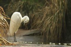 Aigrette (aracobis) Tags: portrait france nature canon zoo jungle fragile lorraine blanc chaud oiseaux meuse brsil afrique moselle sauvage amrique animalier sigma150f28 sigma100300f4 canoneos7d parczoologiquedamnville