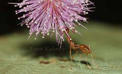 Aroon Kalandy Under a Pink Umbrella... (aroon_kalandy) Tags: flower macro ant antics hiding tamron tamronspaf90mmf28dimacro kenkoet aroonkalandy