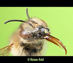 BEE Portrait ... 2.5X (HASAN_ADEL) Tags: portrait macro nature canon bug insect insects bugs bee honey micro saudi arabia 60 adel ksa hasan magnification   mpe65     zerene 60d macrolife stackshot