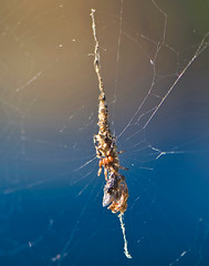 "Cyclosa octotuberculata, ""Garbage Spider"",  Feeding On Fly (aeschylus18917) Tags: macro nature japan season insect spider fly spring nikon seasons g web arachnid orb micro  saitama nikkor  f28 vr arachnida saitamaken diptera chichibu  araneae 105mm predation  105mmf28  araneidae cyclosa  105mmf28gvrmicro  saitamaprefecture yokoze d700 nikkor105mmf28gvrmicro  cyclosaoctotuberculata   nikond700  chichibushi danielruyle aeschylus18917 danruyle druyle   chichibugun araneinae garbagespider trashspider  gomigumo cyclosini yokozemachi"