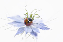 Nigella Lady (Jacky Parker Floral Art) Tags: blue flower macro nature closeup bug garden one flora wildlife beetle single bloom ladybird ladybug nigella loveinamist loveinthemist damascena coccinellaseptempunctata 7spot