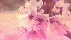 Primavera (_Zahira_) Tags: pink flowers light flores flower primavera luz lafotodelasemana bokeh flor rosa samsung ltytrx5 ltytr1 flickrandroidapp:filter=none galaxys4 vision:flower=0723