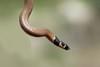 Roth's Dwarf Snake