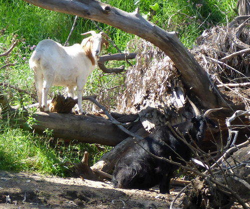 Goats, Wellington NSW