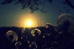 Happy Easter to you all !! ([m.keller]) Tags: wiese dandelion april lwenzahn pusteblume