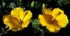 - á deux - (Jac Hardyy) Tags: flowers light shadow two flower beautiful yellow by licht petals nice blossom blossoms blumen stamens petal gelb hibiscus stamen deux bloom buds bud blooms blume blüte schatten zwei hibiskus blütenblätter á zu knospe blüten zweit gelbe knospen schön blütenblatt staubblätter spp hibiskusblüte eibisch staubblatt hibiskusblüten