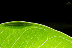 Leaf Katydid (Atul Vartak) Tags: katydid tettigoniidae