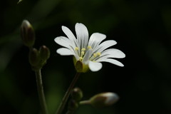 one in a million (notpushkin) Tags: white flower wiese blume weis