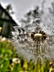 dandelion seed (seanfderry-studenna) Tags: ranch wood old roof light red summer sky house color building green broken nature field yellow clouds barn rural vintage season grey countryside wooden log cabin colorful outdoor decay farm background room country farming rustic scenic farmland dandelion isolated
