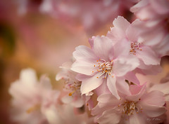 Happy Friday (Ping...) Tags: pink flowers cherry spring blossoms cherryblossoms
