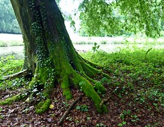 2016-05-23 Villers (89)trunk (april-mo) Tags: france tree green nature moss roots trunk arbre nord mousse tronc racines