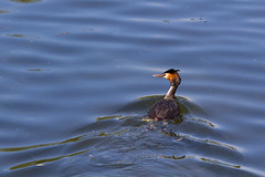 Great Crested Grebe (CJPhotography UK) Tags: park camera blue light urban sun sunlight lake reflection bird london nature water animal canon garden outdoors photography spring pond waves outdoor wildlife urbanwildlife ripples waterfowl regentspark grebe wildfowl greatcrestedgrebes