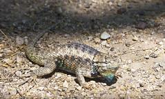 All Puffed Up -- Desert Spiny Lizard (Sceloporus magister);  Tucson AZ, Sweetwater Wetlands [Lou Feltz] (deserttoad) Tags: park arizona nature animal desert lizard behavior herp refuge