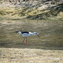 chasse blanche - Ile de R - Mai 2016 (Giancarlo - Thanks for > 1,4 Million Views) Tags: bird island nikon blanche oiseau r ileder isola chasse 200500mm d810 risland
