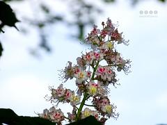 Rosskastanie (Aesculus) (warata) Tags: flower fleur germany bayern deutschland pflanze blte baum allgu schwaben 2016 aesculus swabia sddeutschland memmingen southerngermany rosskastanie oberschwaben alpenvorland upperswabia schwbischesoberland bayerischesallgu