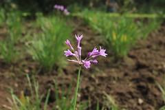 Flor solitaria. 07.05.16 ~ (v.conuecar) Tags: flower purple flor morada