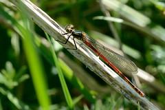 Large Red Damselfly Pyrrhosoma nymphula Upton e (JohnMannPhoto) Tags: nwt damselfly upton
