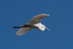 Flight (Rick 2025) Tags: birds inflight greategrets