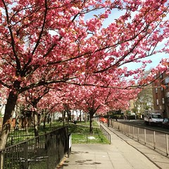 Blooming East End (mokhuss) Tags: uk pink flowers trees summer colour london beautiful colours britain colourful whitechapel eastend branching blossomed branched