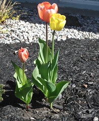 ** Les 3 tulipes ** (Impatience_1) Tags: flower fleur spring may m mai tulip tulipe impatience coth supershot fantasticnature abigfave saveearth citrit wonderfulworldofflowers alittlebeauty coth5